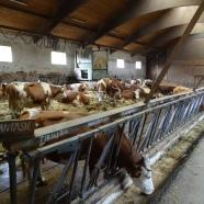 Schwärzdorf - Landvergnügen, die Kühe kurz vor dem Melken